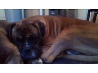 Boxer Dog Male looking for good home great with children