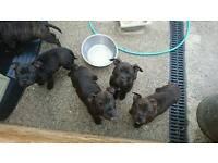 Staffy pups ready now kc reg both parents family pets