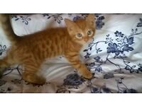 2 gorgeous GINGER MALE kittens left and ready to be homed to good families