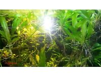 Plants for fish tank: Amazon Swords, hornwort, hygrophila, crypts, wisteria, elodea, java moss