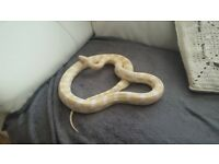 2 snow corn snakes + Full setup