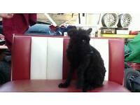 £275. German SHEPHERD dog in need of loving home