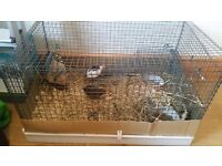 Pair of Chinese Painted Quails for sale + cage