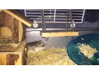 Tiny hamster for sale and cage x2