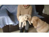 Golden retriever pup sfor sale