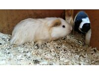 Male Guinea Pig and large outdoor hutch