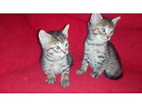 2 tabby kittens for sale tottenham 70 each