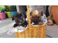beautiful Shorkie Puppies for sale