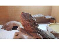 Bearded dragon with full vivarium set up for sale