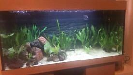 Tropical fish (cichlids)