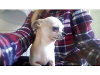 Chihuahua kc reg boy