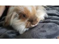 Lop Eared Female Rabbit