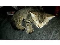 Sold Tabby girl kitten