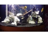 Beautiful x16Malawi + x1 cat fish for sale