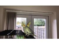 Two cockatiels for sale! To go together!!