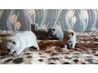 British shorthair blue/cream kittens