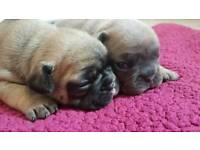 Stunning litter of French Bulldog Puppies