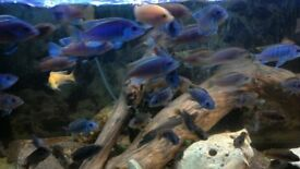 lovely electric blue and yellow Cichlids for sale