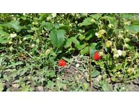 Strawberry plants and more