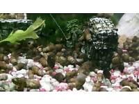 10 x Fish tank snails