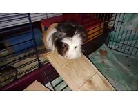 Guinea pigs in need of home