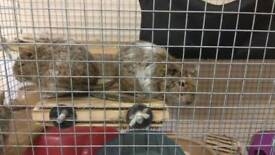 Degus (mice, hampster) for sale with cage and equipment