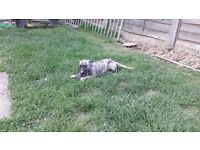 Lurcher pup