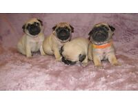 Pug puppies for sale 3 girls 1 boy