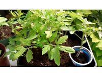 Siberian tomatoe plants