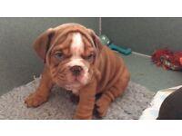 Stunning kc reg British bulldog puppies
