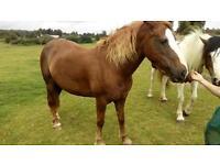 Lovely Welsh pony for full loan