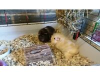 2 female guinea pigs FREE