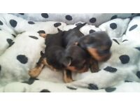 small yorky puppy for sale