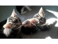 5 kittens 8 weeks old