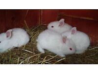 new zealand whites