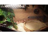 Corn Snake (Large)