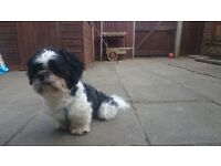 Shih Tzu - Male, Black&White, House Trained, Vaccinated, Wormed. Ready to go