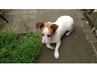 Jack Russell bitch 5 yrs