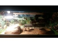 For Sale!!! Baby Sized Beared Dragon With Full Viv Set Up £120