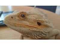 2 x Bearded Dragons ( Free to a good home ) Approx 7-8 years old