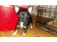 T cup chihuahua puppies left now