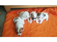 4 Jack Russel Puppies for SALE