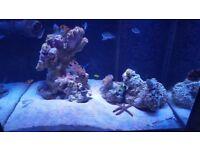 marine fish , banana wrasse, orange spot goby, clownfish, green chromis