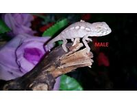 baby ambilobe panther chameleons for sale