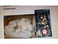 Chicken (Chicks) for sale