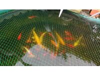 Complete and entire fresh water fish pond. Large Koi and ghost. 24+ fish