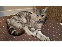Male silver cat free to good family home