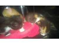 adorable kittens, wormed, flead, weaned, very friendly and brought up with dogs and kids