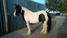 15HH Very heavy coloured cob mare for sale