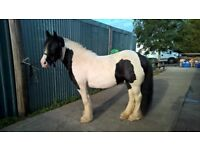 15HH Very heavy coloured cob mare for sale